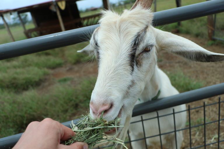 Surfing Goats and Mountainside Farm Tours at Maui's Upcountry